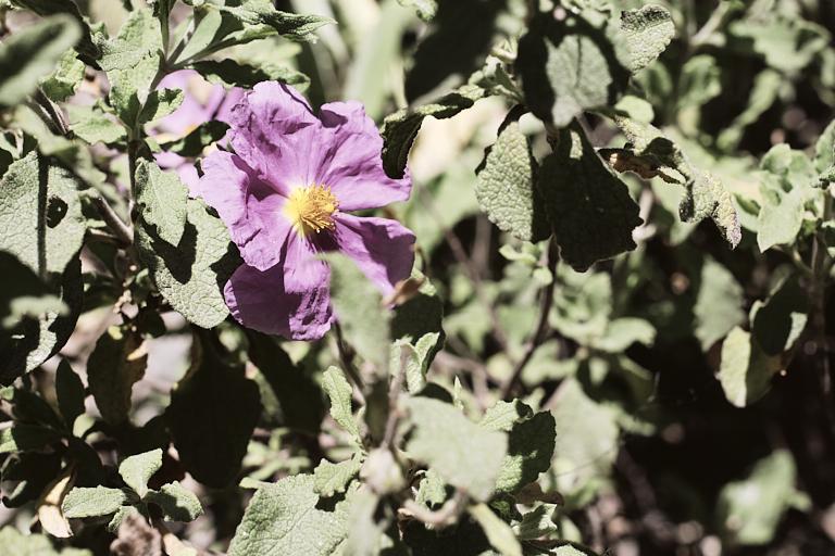 Blätter und Blüter der Cistrose oder Zistrose